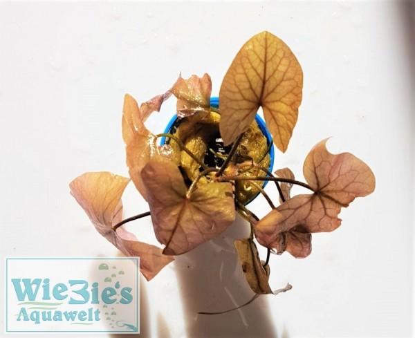Nymphaea lotus var. rubra - Roter Tigerlotus