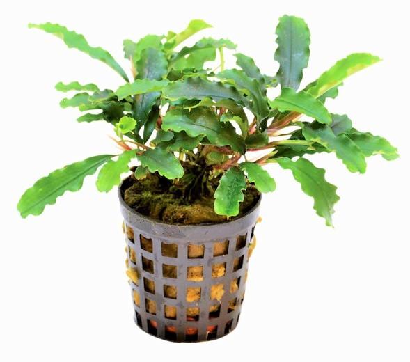 Bucephalandra spec. Green Velvet eine von vielen schönen Bucephalandras tolle Aufsitzerpflanzen für euer Aquascape oder Nano Aquarium