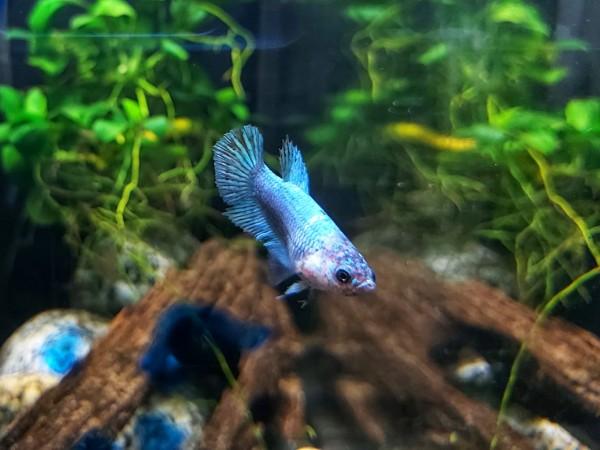 Betta Splendens female Kampffisch weibchen Candy koi kampffisch türkies bei wiebies aquawelt