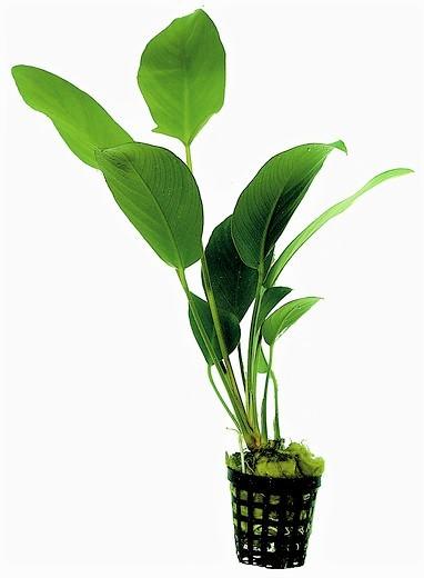 Anubias hastifolia - Herzblättriges Riesenspeerblatt bei Wiebies aquawelt tolle weitere Anubien