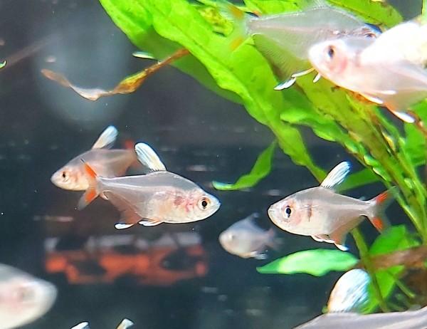 Hyphessobrycon bentosi - Schmucksalmler white fin