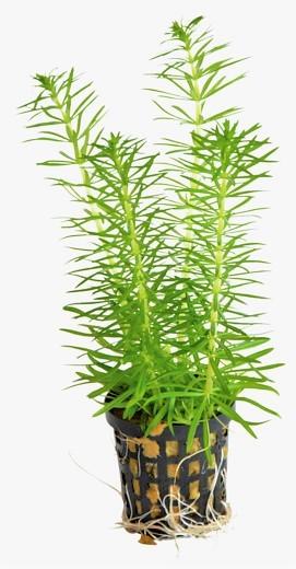 Pogostemon Erectus - indisches Sternkraut der indische Wasserstern die Aquariumpflanze für den Hintergrund