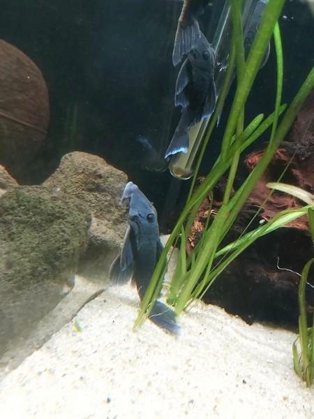 L239 Wels kaufen blauer Harnischwels Ancistrnae sp. blaue Harnischwelse kaufen