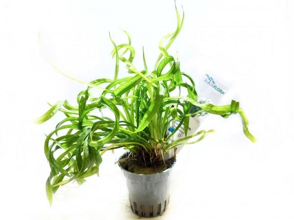 Echinodorus vesuvius korkenzieher Schwertpflanze kaufen korkenzieher Schwertpflanze , Helanthium bolivianum