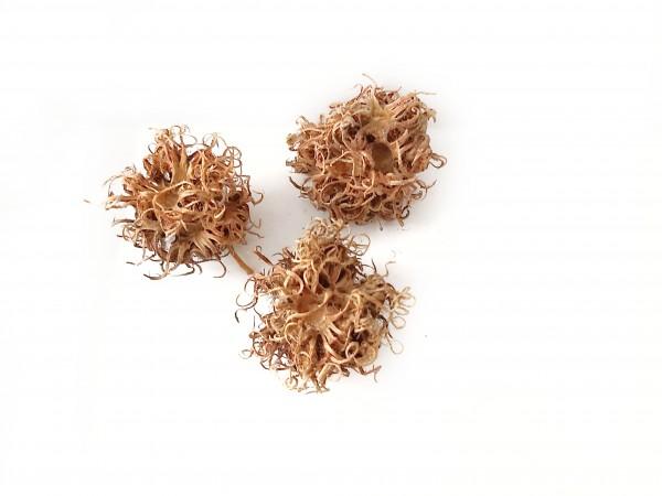 Hexennüsse, Hexennuss die Frucht des Baumhasel im Aquarium für Garnelen schnecken und Krebse Hexennuss garnelenfutter