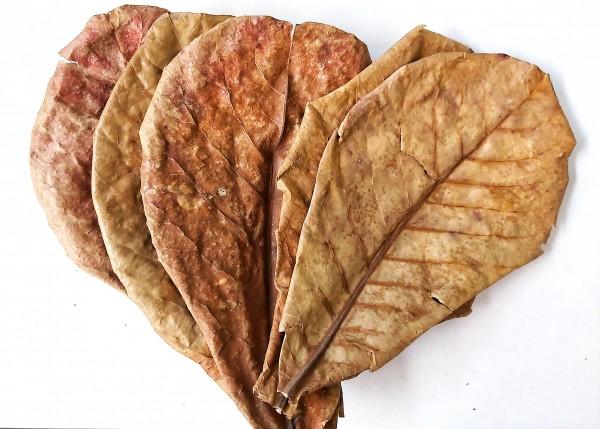 Seemandelbaumblätter Catappta Leaves Größe M 13-16cm zu günstigen Preisen bei Wiebies Aquawelt