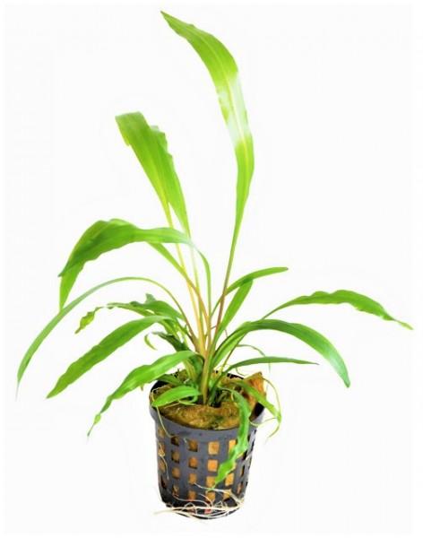 Cryptocoryne spiralis- der Wasserkelch mit denschmalen gewelten Hellgrünen Blättern für schöne Aquarienbepflanzung bei Wiebies Aquawelt