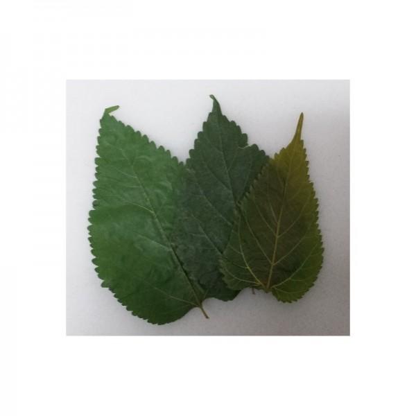 Maulbeerenblätter
