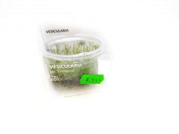 Vesicularia speciesi Creeping moos kaufen vesicularia moos kaufen