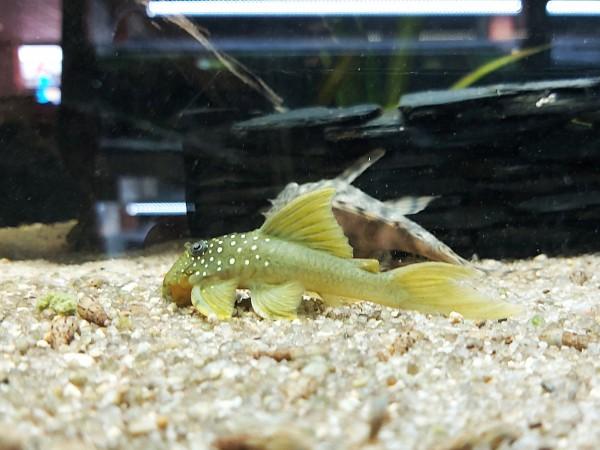 L200 Hemiancistrus subviridis grüner phantomwels kaufen gelber Phantomwels kaufen bei wiebies Aquawelt