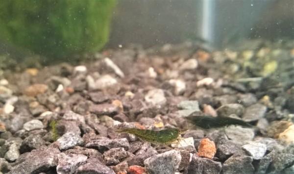 Neocaridina davidi Green Jade Dark, grüne Zwerggarnele, grüne Garnelen