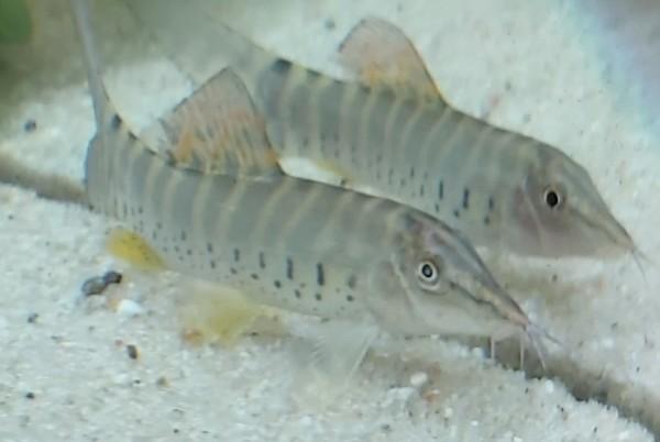 Syncrossus berdmorei - Rotflossen Tigerschmerle