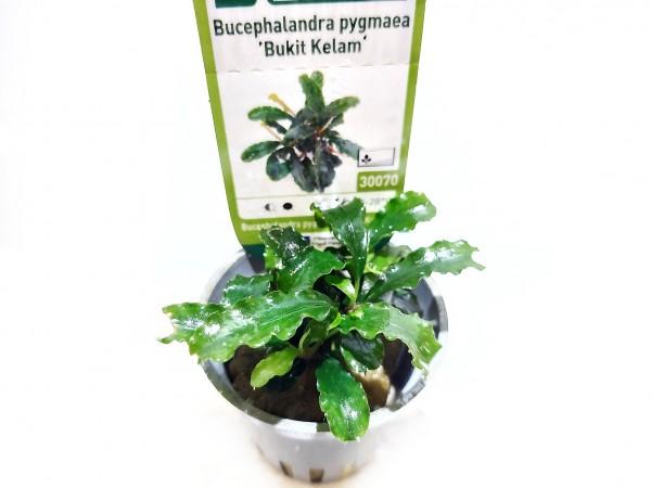 Bucephalandra pygmaea bukit kelam kaufen, pygmaea bucephalandra kaufen