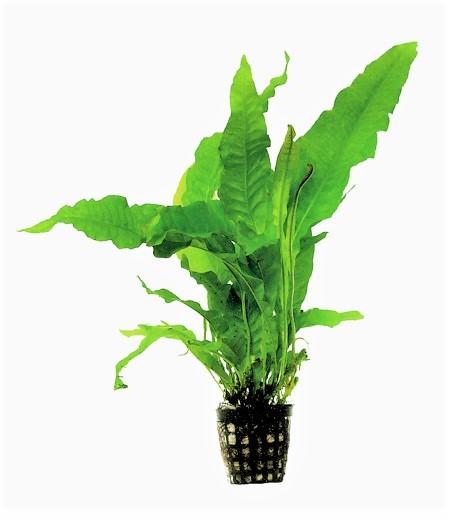 Microsorum pteropus latifolia- Javafarn / Schwarzwurzelfarn ein toller Pflegeleichter Farn für fast jedes Aquarium. Barschaqurien geeignet.