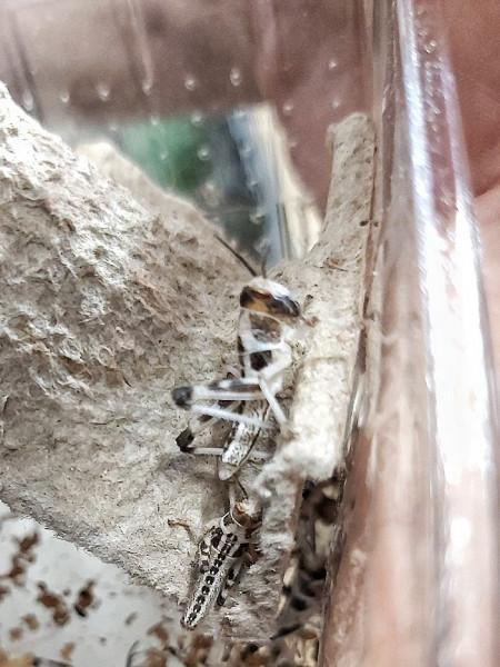 Wüstenheuschrecke - Schistocerca gregaria