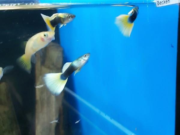 Poecilia reticulata - Yellow Tuxedo Guppy