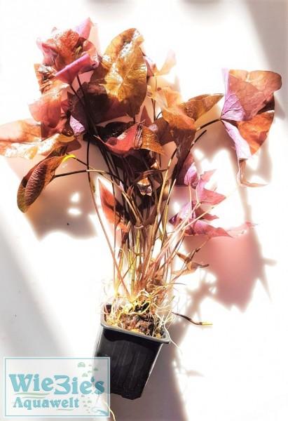 Nymphaea lotus var. rubra - Roter Tigerlotus Mutterpflanze