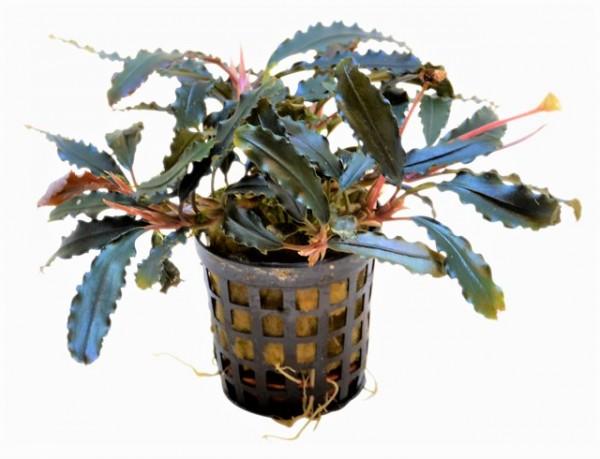 Bucephalandra spec. Biblis eine sehr schöne schmalblättrige Bucephalandra in leichten Blauschimmer für Aquascaping