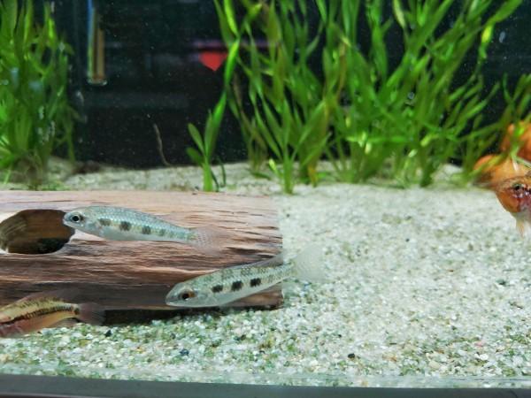 Dicrossus filamentosus der Gabelschwanz Schachbrettcichlide für dein Aqaurium kaufen