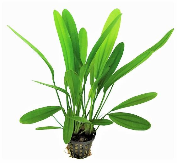 Echinodorus uruguayensis (Africanus) - Uruguay-Schertpflanze die tolle Schwertpflanze für jedes natürliche Aquarium und weitere Echinodoren bei Wiebies Aquawelt