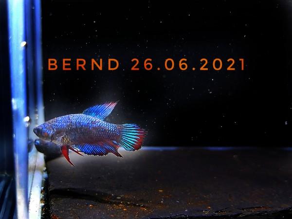 Unser Kampffisch Bernd Betta splendens plakat kurzflosser kampffisch Nachzucht