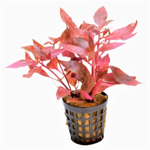 Alternanthera Cardinalis Variegata - Papageienblatt bei Wiebies Aquawelt Top Aquarienpflanzen