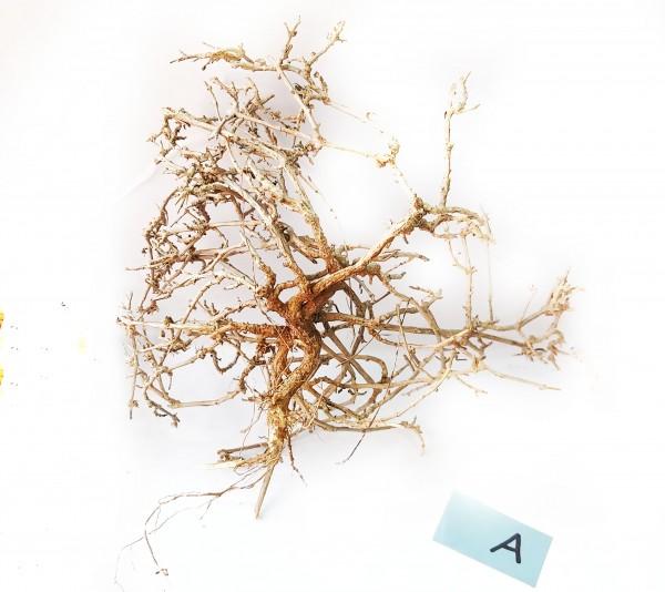 Garnelenbaum, Garnelenbonsai Aqua- Bonsai für dein Aquarum und Garnelenbecken