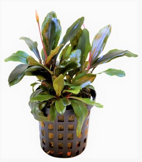 Bucephalandra Theia eine wunderschöne Bucephalandra für Aquascaping und mehr bei Wiebies Aquawelt