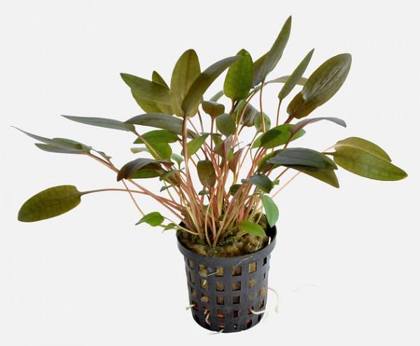 Cryptocoryne wendtii braun eine tolle robuste Aquarienpflanze für schöne aquarien bei Wiebies Aquawelt