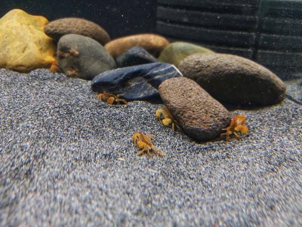 Ptychognathus barbartus - Pom pom Unterwasserkrabbe