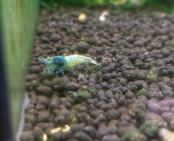 Caridina sp. - Steel blue