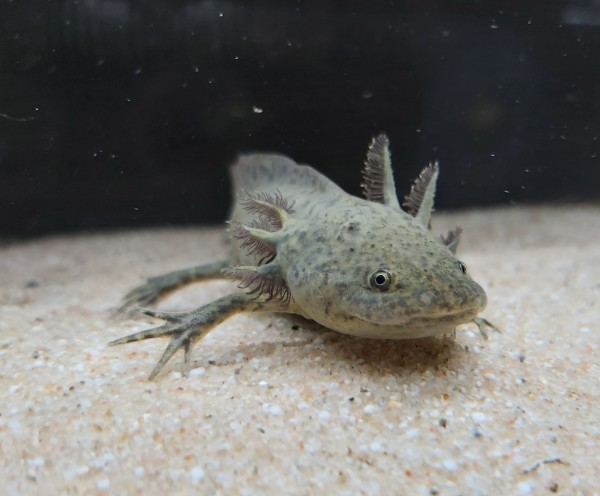 Ambystoma mexicanum - Axolotl natur