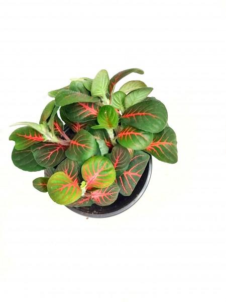 Fittonia albivenis rot