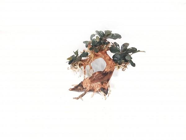 Nanobonsai mit Bucephalandra theia bepflanzt der Garnelenbaum für jedes Nanoaquarium oder Aquascaping bei Wiebies Aquawelt
