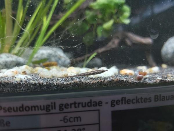 Indostomus praadoxus - Burma Stichling