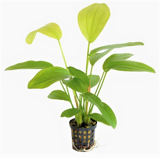 Echinodorus Rose - Rosa Schwertpflanze und weitere tollen Echinodorus Schwertpflanzen bei Wiebies Aquawelt