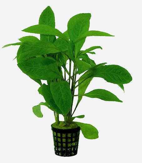 Hygrophila corymbosa Stricta - Kirschblatt eine tolle Aquarienpflanze und weitere Wasserpflanzen bei Wiebies Aquawelt