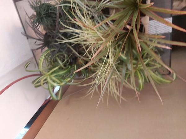 Tropische Gräser - Terrariumpflanze