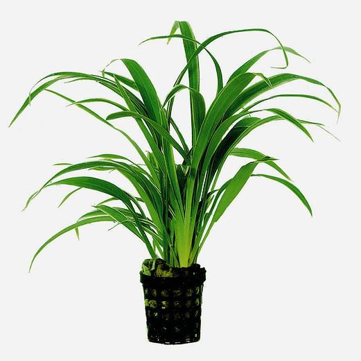 Chlorophytum bichettii - Zebragras