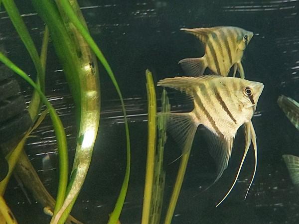Pterophyllum leopoldi - Leopolds Skalar