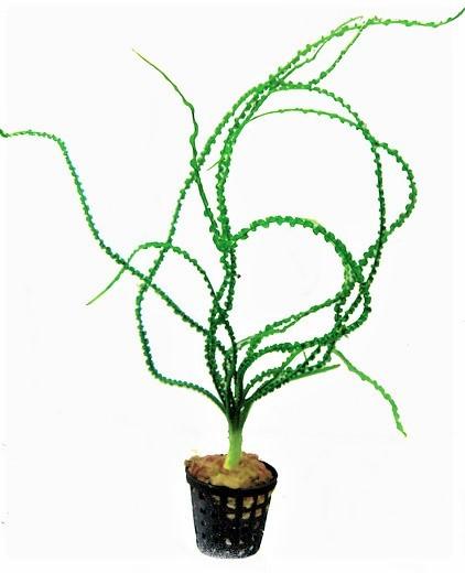 Crinum Calamistratum - Dauerwellen-Hakenlilie die tolle Wasserpflanze und weitere schöne Aquarienpflanzen bei Wiebies Aquawelt