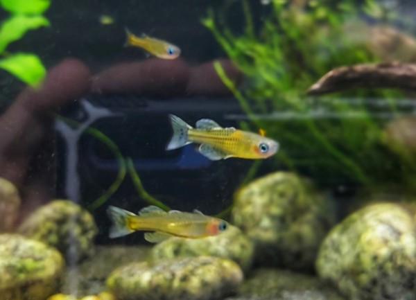 Pseudomugi gertrudae das gefeckte Blauauge im Aquarium kaufen