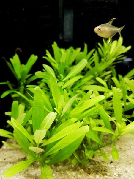 Hygrophila polysperma - indischer Wasserfreund kaufen, Wasserpflanze kaufen