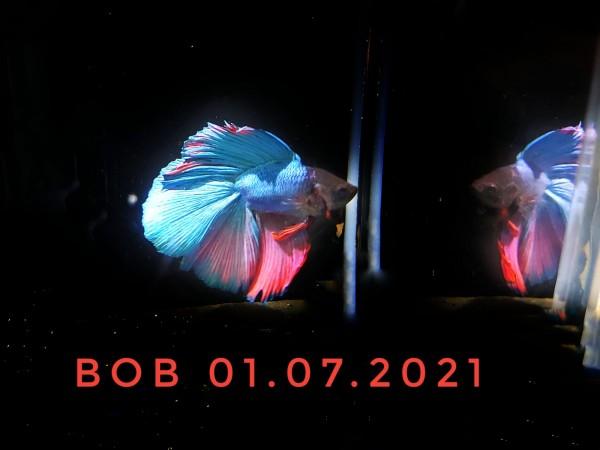 Betta splendens Bob der twintail Kampffisch kaufen blauer kampffisch rosa kampffisch im Aqaurium
