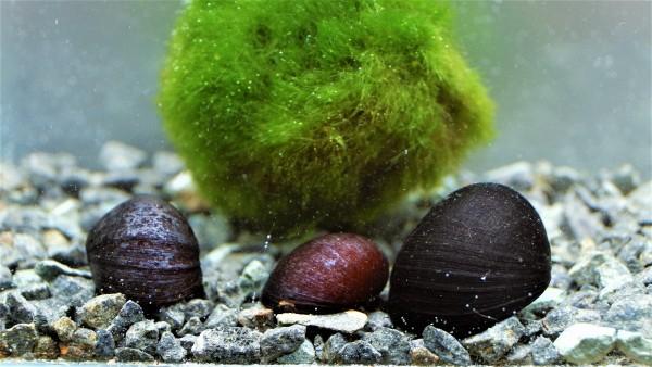 Neritina pulligera die Napfschnecke oder anthrazit Napfschnecke und Stahlhelmschnecke eine Rennschnecke kaufen für dein Aquarium