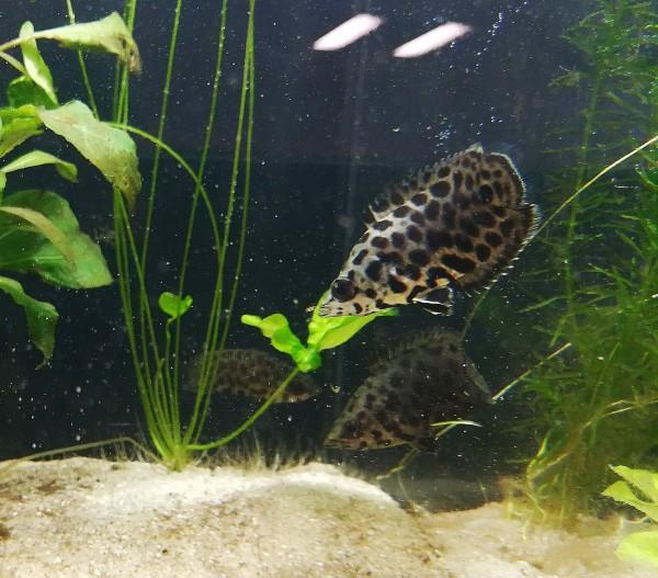 Ctenopoma acutirostre - Leopard-Buschfisch