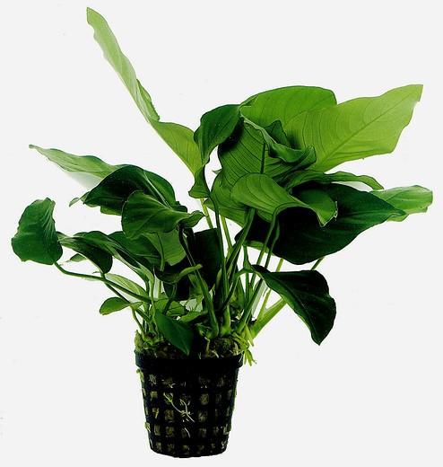 Anubias barteri nana - Mutterpflanze