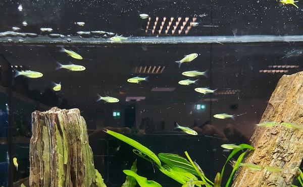 Microrasbora kubotai - Grüner Neon Rasbora