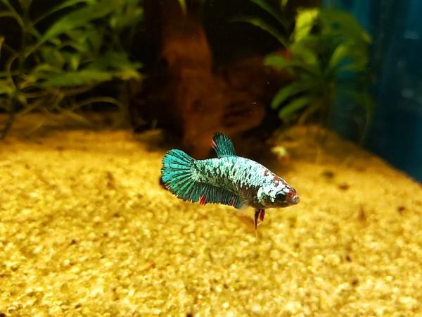 Kampfisch Betta splendens female weiblicher Kampffisch kaufen