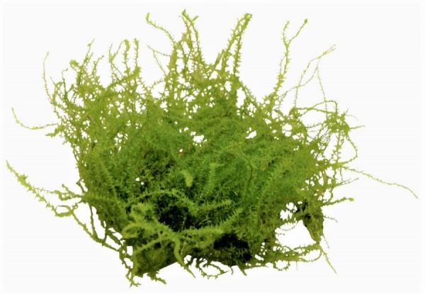 Leptodictyum riparium - Stringy Moos